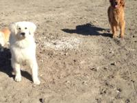 I have a litter of six akc golden retrievers. Our
