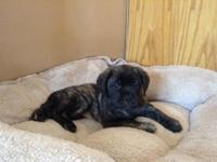 Ready to go house! We have 9 brindle and fawn! New