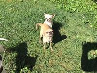 This beautiful AKC Champion bloodline Chihuahua pair