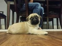 Beautiful Fawn Female Pug puppies? They are Healthy,