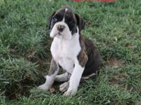 Akc Ch Bloodline Boxer puppies 7 weeks old sweet and