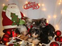 Chinese Crested dogs born on August 26, 2014. This was