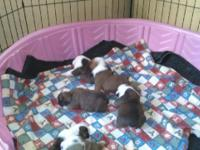 AKC registered English Bulldog puppies, Champion