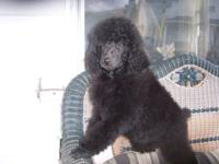 I have one huge gorgeous black AKC Specification poodle