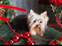 We have a loving, sweet AKC Male Yorkshire Terrier that