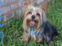 Who Dat is a very loveable, adorable yorkie. He weighs