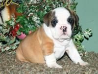 AKC Boxer Puppies will be born on the 26th of
