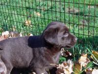 I have 3 choc Labrador male puppies for sale, they come