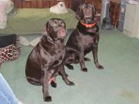 I currently have 7 beautiful champion bred, AKC reg.,
