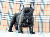 AKC champion blood line French Bulldog Puppies for