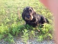AKC signed up Champion Bred WireHair Dachshund. Luna is