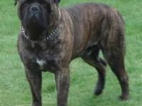 We have 2 brindle bullmastiffs 1 male and 1 lady. They