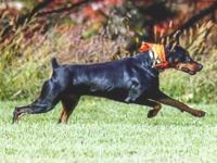 Breeding quality Doberman Pinschers for Pet, Show, and