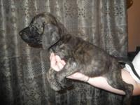 """FULL"" AKC English Bulldog puppies they were born on"