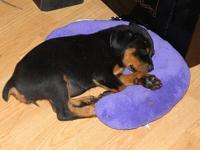 Full AKC reg German Rottweiler puppies for sale,. The