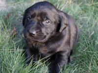 Here are D & J Labradors We are expecting a litter of