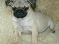 Absolutely adorable 11 week old loving and smart pug