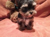 AKC Champion Line Teacup Yorkie Puppies..I have four