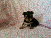AKC Champion Line Female Yorkie puppy for sale. Anna