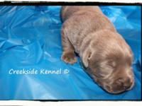 silver & & charcoal labrador retriever young puppies.