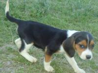 5 female and 4 male tri-color, beagle puppies for