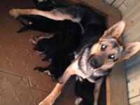 AKC CHAMPION PEDIGREE GERMAN SHEPHERD PUPPIES FOR