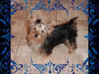 I have available a beautiful male AKC registered Yorkie