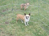 Rebel is a 3 year old fawn AKC Chihuahua. He has a