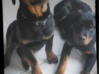 Hello Fellow Rottiewieler Lovers,. My name is SHERYL