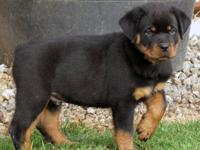 AKC Registered Rottweiler Male Puppy. Sire is CHAMPION