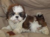 Champion Lines, High Quality Shih Tzu Beautiful Red and