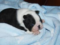 AKC Boston Terrier Puppies - Born December 14, 2013.