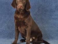 I have a litter of Chocolate Lab puppies available.