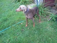 Tora is a stunning red and tan Doberman Pincher. She is