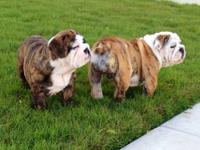 We have 2 beautiful female English Bulldog puppies that
