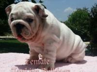 AKC Champion Sired English Bulldog Puppies. Born 20 Apr