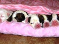We have 7 very beautiful and healthy English Bulldog
