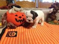 ENGLISH BULLDOG PUPPY: AKC BEAUTIFUL WHITE FEMALE WITH