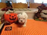 AKC male bulldog This precious boy is white with the