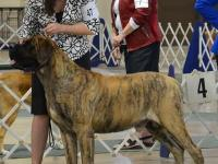 Champion Sired English Mastiff Puppies available May