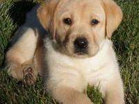 Champion sired litter of English yellow Labradors born