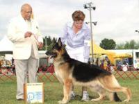AKC champion sired German Shepherd pups. Show and pet