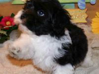 At KingsKids Havanese, we provide Healthy strong, well