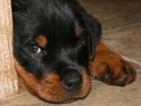 Two gorgeous male Rottweiler puppies are available to