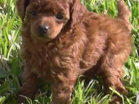Red Toy Poodle Female. AKC, UKC registerable. Champ