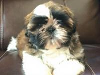 AKC Champion Sired Shih Tzu male puppy available. Born