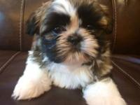 AKC Champion Sired Shih Tzu male puppy offered. Born