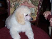 Beautiful Akc Standard poodle puppies.Pet or show