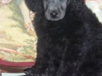 I have four beautiful AKC Standard Poodle Puppies