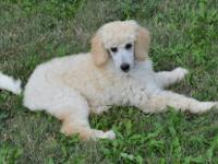 Beautiful AKC Standard Poodle puppies ready to go! Our